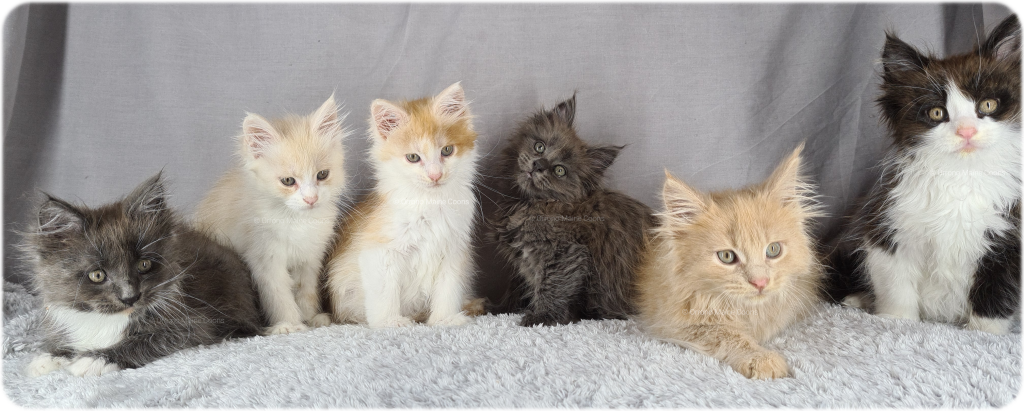 A litter of 6 kittens on a grey background
